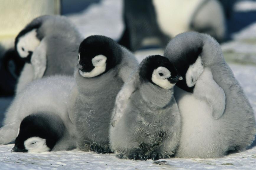La marcia dei pinguini - Il richiamo